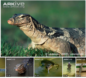 เหี้ย มีชื่ออังกฤษว่า Water monitor ชื่อวิทยาศาสตร์ว่า Varanus salvator http://www.arkive.org/asian-water-monitor-lizard/varanus-salvator/image-G57993.html